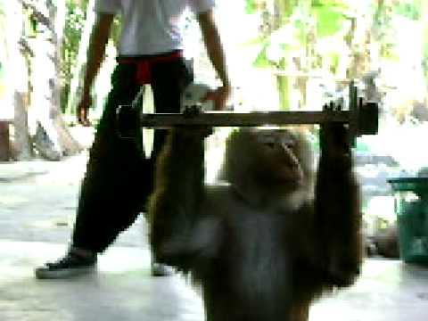 Monkey Lifting Weights Youtube
