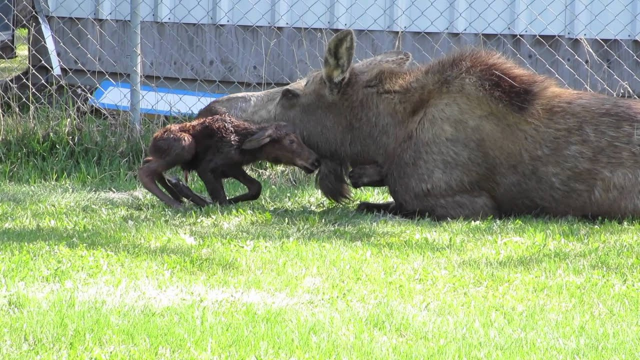 mommy moose gives birth to twins youtube
