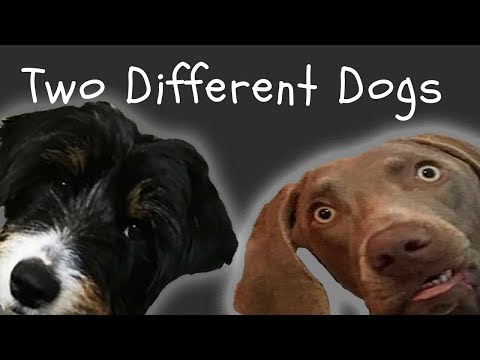Two Different Dogs | Weimaraner dog dancing to Alice Merton - No Roots