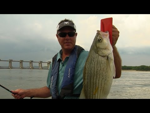 Big Hybrids and Stripers on the Ohio River