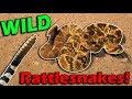 Meet Arizona's Rattlesnakes!