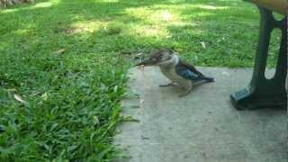 Blue-winged Kookaburra Killing Ham