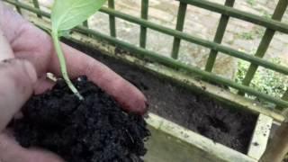 Video growing cucumber 2017 episode 9 of my allotment growing season download MP3, 3GP, MP4, WEBM, AVI, FLV September 2017
