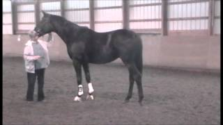 Lheonidas- 5 y.o. 16.3 h Hanoverian gelding by Loerke shown free running and free jumping 10/11/13