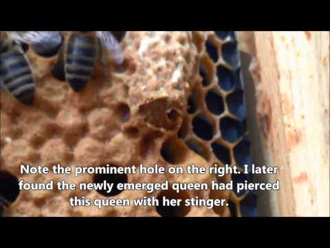 Queen Cells And Emergence
