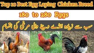 Poultry farming || Top quality Eggs Laying Hens || زیادہ انڈے دینے والی مرغیوں کی اقسام