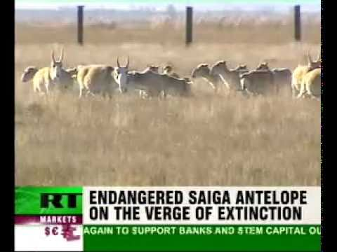 12,000 Endangered Saiga Antelope found dead in Kazakhstan