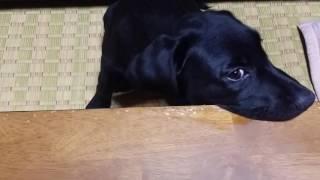 我が家に来て1ヶ月半。噛み癖がひどい仔犬。手足や家具に穴が開きそうな...