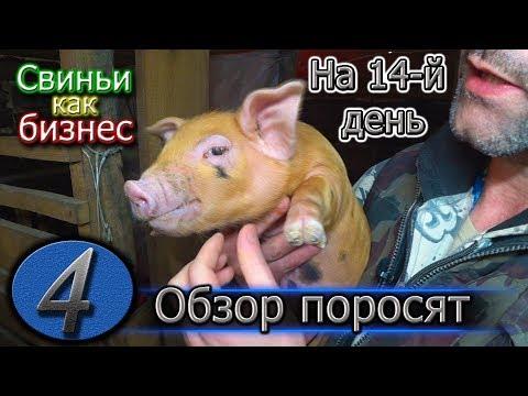 Как кормить свиноматку после опороса