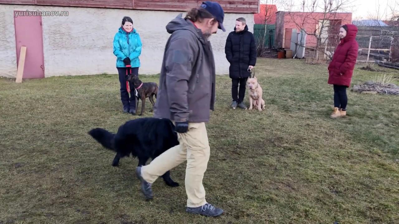 Отработка спокойного отношения немецкой овчарки Лады к другим собакам