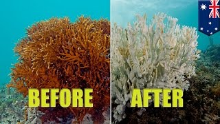 Great Barrier Reef  Coral bleaching is killing Australia's spectacular coral reef   TomoNews