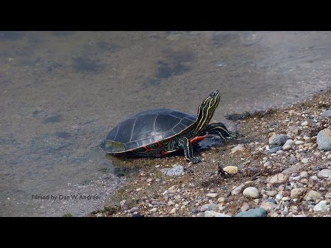 """"""" Painted Turtles"""" have character."""