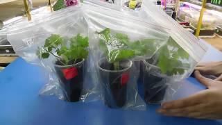 видео Пеларгония - уход в домашних условиях, размножение, виды. Герань в медицине