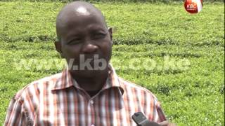 FARMTALK: Focus on tea farming in Kericho