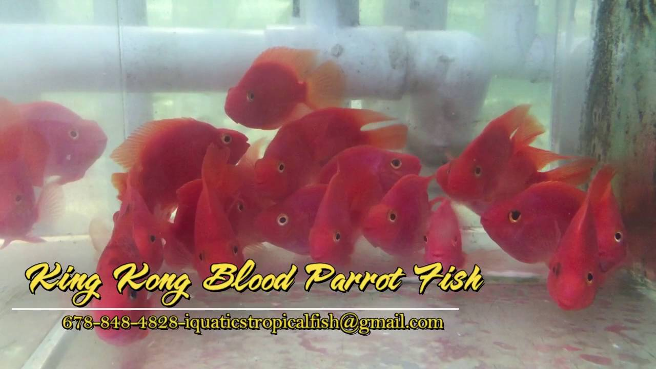 King Kong Blood Parrot Fish - YouTube