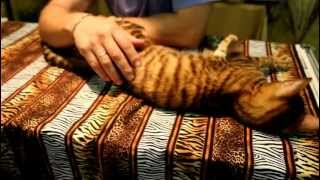 Супер ласковая кошечка породы Тойгер :)