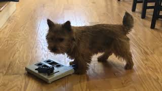 My dog tries a level 3 puzzle [Norwich Terrier Life]
