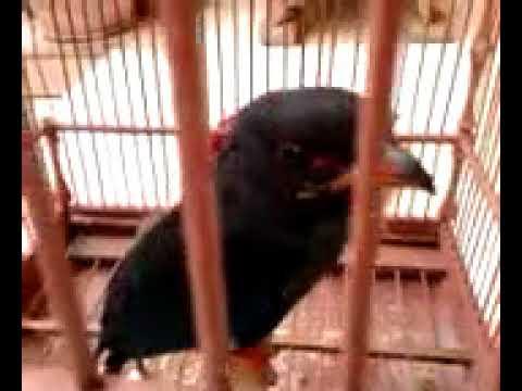 suara burung misterius