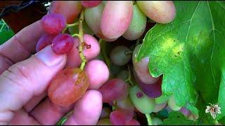 Причины осыпания ягод на винограднике. Паралич гребня. Виноград 2018.