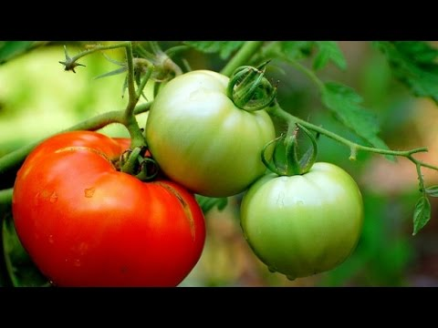 Commit error. mature cherry tomato with you