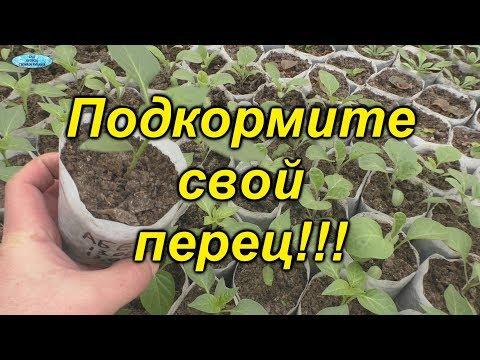 Первая- очень важная подкормка рассады перца. | выращивание | подкормка | сладкий | рассада | желтеет | листья | перец | когда | чем | как