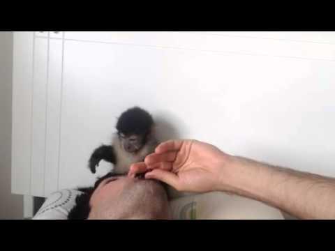 Macaco dançando Claudinho e Buchecha!!