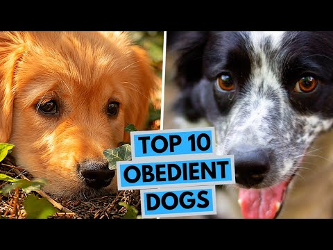 Top 10 Most Docile and Obedient Dog Breeds