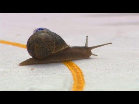 شاهد: بطولة العالم لسباق الحلزونات  - نشر قبل 2 ساعة