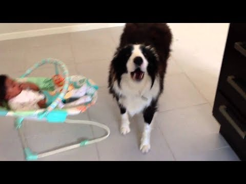 Dogs sings to stop baby crying - Dog Loves Babies Videos 2017