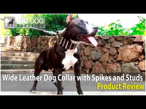 American Staffordshire Terrier and Other Dogs Wearing Extra Wide Dog Collar with Spikes and Studs