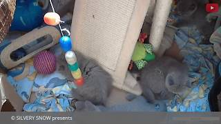 British kittens live cam (SilverySnowcats)series №4/Веб-камера в питомнике Silvery Snow