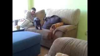 CACHORRA Lua, una americanstaffy muy Jackass! // Lua puppy a very americanstaffy Jackass! Thumbnail