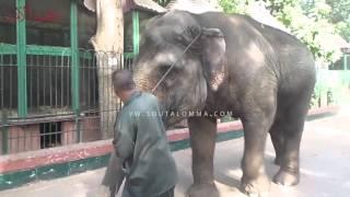 فيل» يتجول فى أرجاء حديقة الحيوان بالجيزة