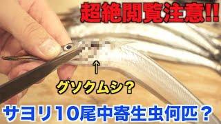 【超絶閲覧注意】サヨリ10匹中寄生虫は何匹いるの?