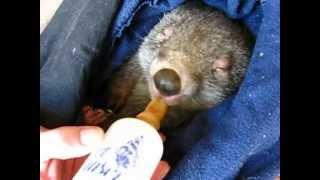 Wombat Dug (Douglas)
