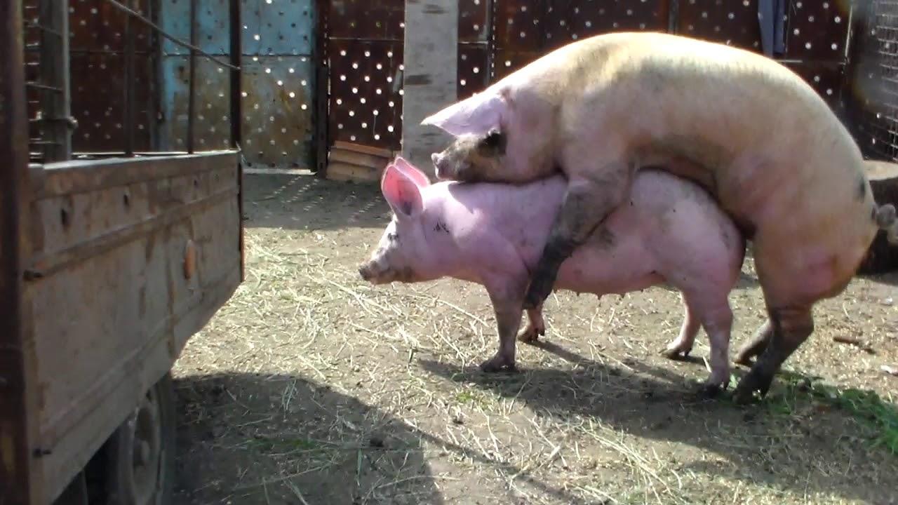 Секс с свиньей смотреть