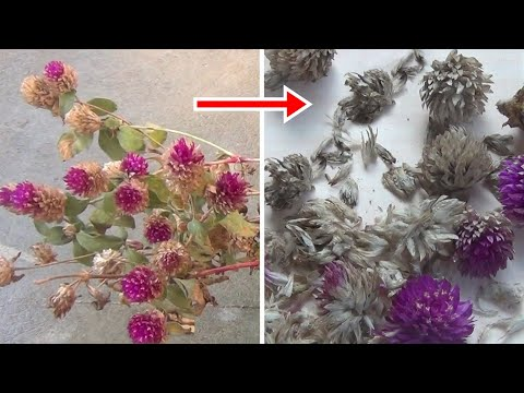 How To Collect Or Harvest Gomphrena Seeds