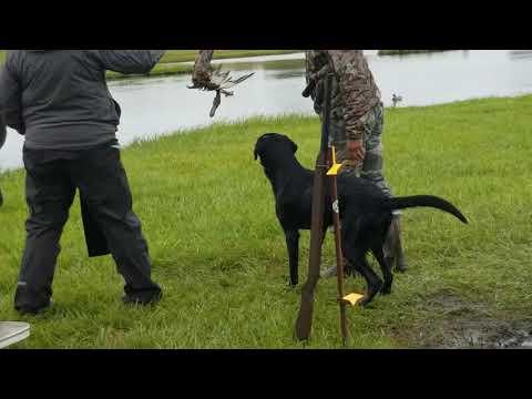 Akc Master Hunt Test-panther Water Series