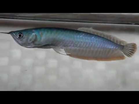 Blue Silver Arowana Youtube