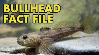 Bullhead: Fact File (British Wildlife Facts)