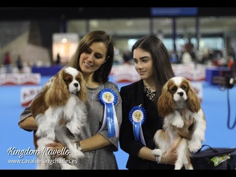 Málaga International Dog Show´16 BEST OF BREED finals Cavalier King Charles Spaniel