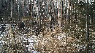 Тигр на охоте(, 2014-11-02T11:52:10.000Z)