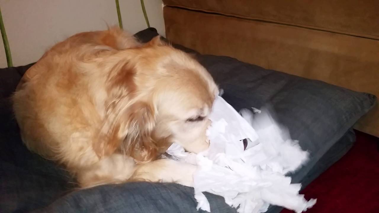 Old Dog Chewing Bed