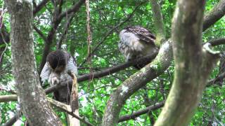 Spotted Wood Owls Preening (22Dec2013)