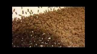 Fruit fly breeding