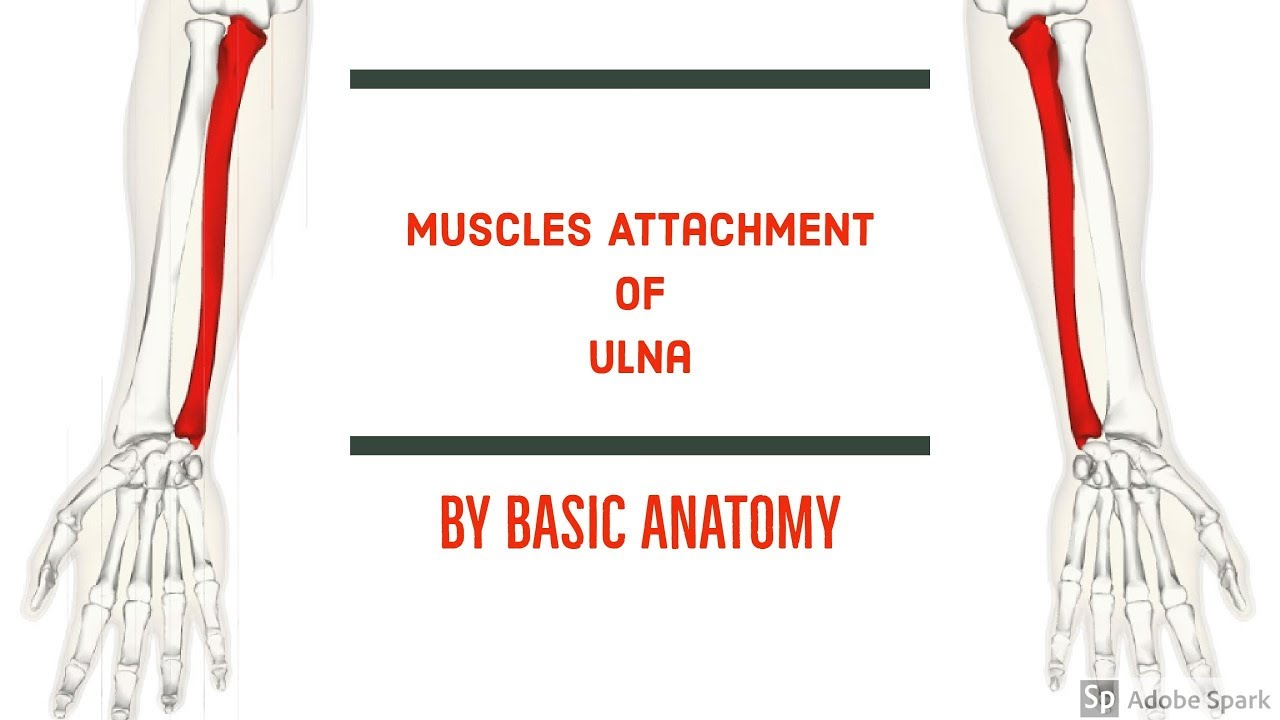 MUSCLES ATTACHMENT OF ULNA || BY BASIC ANATOMY - YouTube