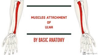 MUSCLES ATTACHMENT OF ULNA || BY BASIC ANATOMY