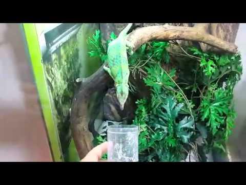 Yemen Bukalemun