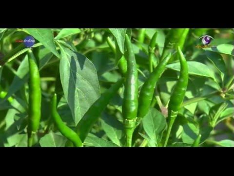 เกษตรทำเงิน : ซูเปอร์ฮอต พริกพลิกชีวิต