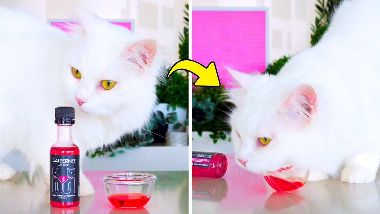 Cat Gets Drunk From Drinking Cat Wine